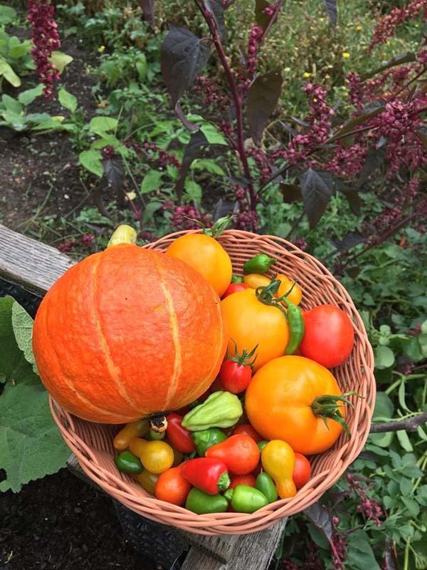 Frisches Gemüse ernten macht Freude